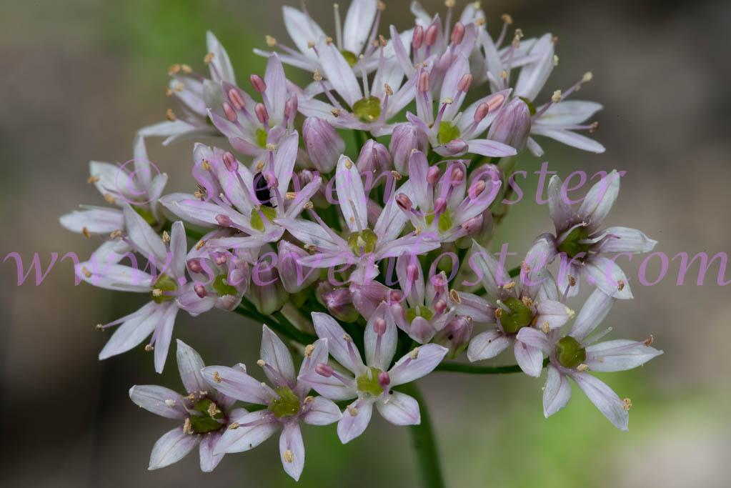 Allium Canadense Allium-canadense-05291...