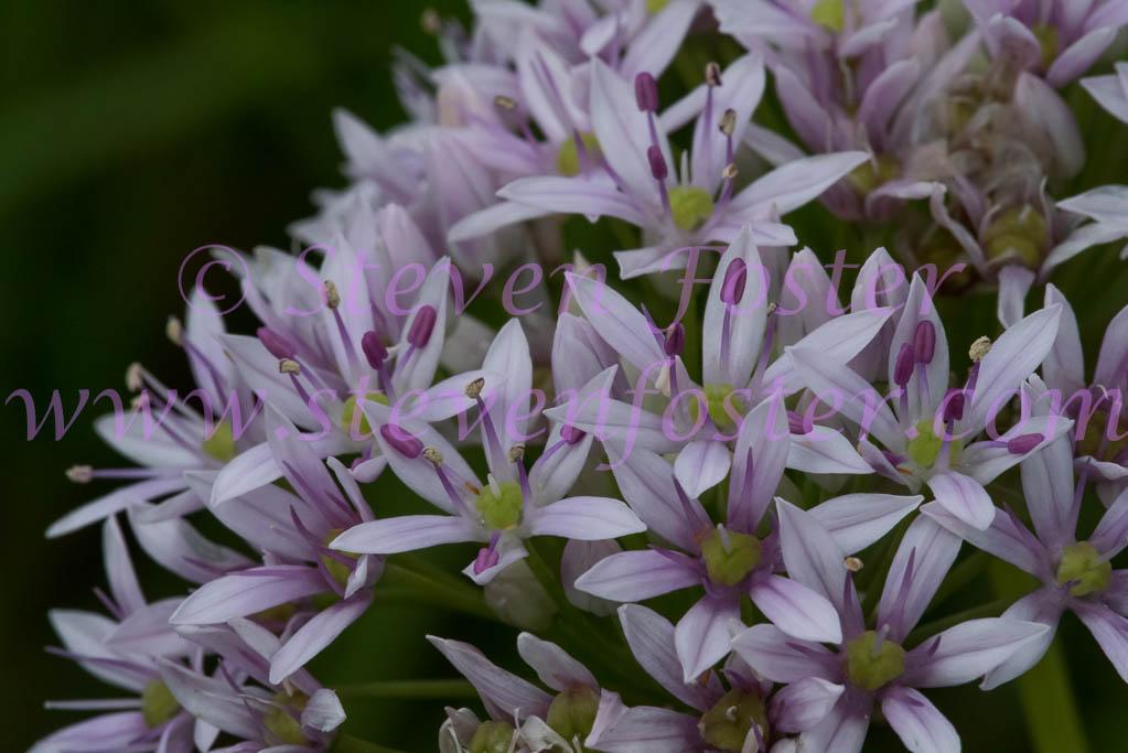 Allium Canadense Allium-canadense-06041...