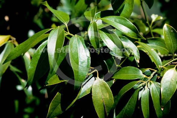 Stock Photos of Cinnamomum burmanii; Padang Cassia Tree ...
