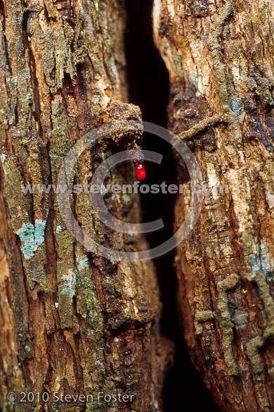 Steven Foster's Stock Photos of Croton lechleri; Sangre de Grado ...: www.stevenfoster.com/photography/imageviewsc/croton/lechleri/cl1...