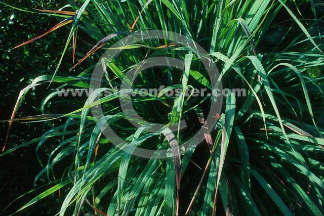 Stock Photos Of Cymbopogon Winterianus Java Citronella Zhu Sha Tang