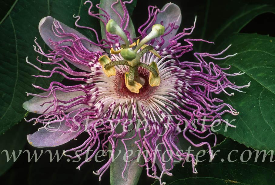 s of Passionflower Passion flower Maypop Passiflora incarnata Steve