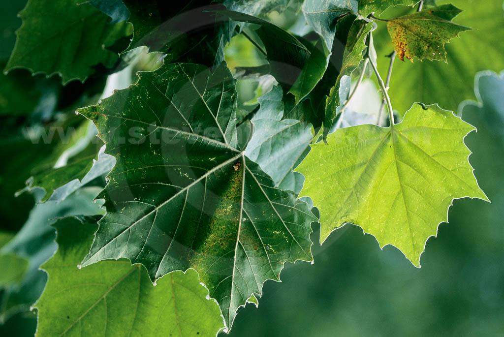 Platanus occidentalis, Eastern Sycamore images - Steven ... Platanus Occidentalis Leaf