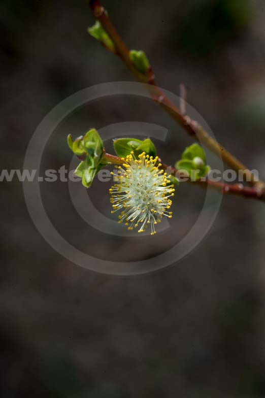 Pussywillow Photo 91
