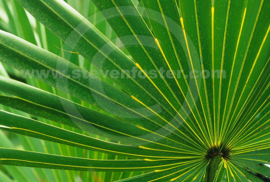Sabal Palm  Sabal Palmetto  Palmco  Wholesale Palms