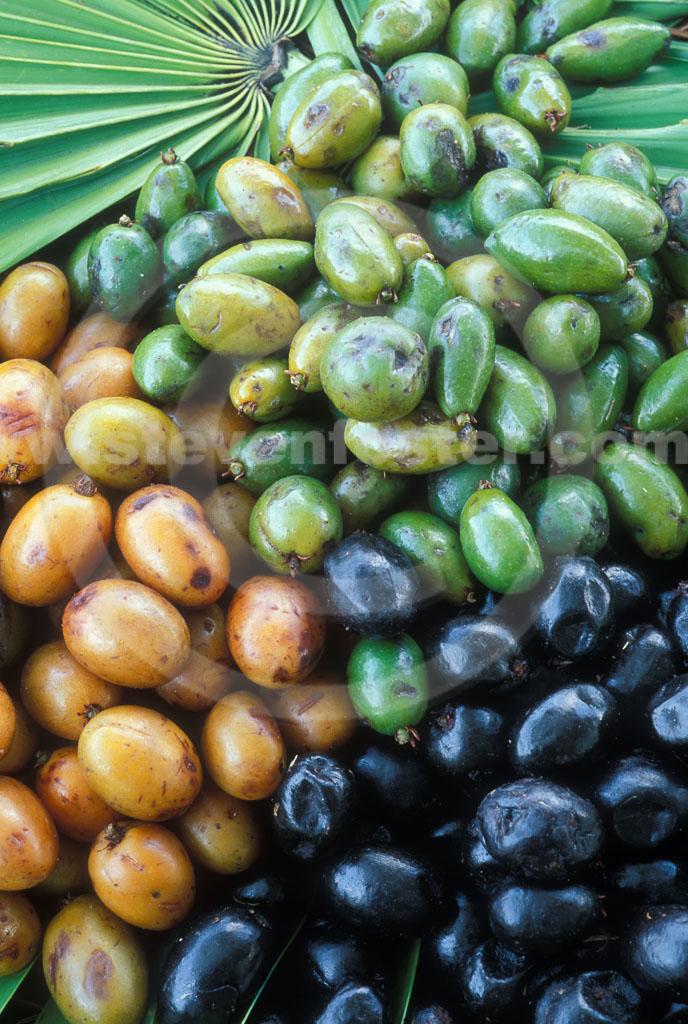 Sabal palmetto  Palmpedia  Palm Growers Guide
